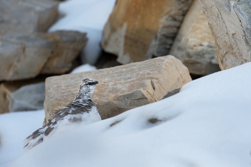 4- Lagopède alpin d'automne