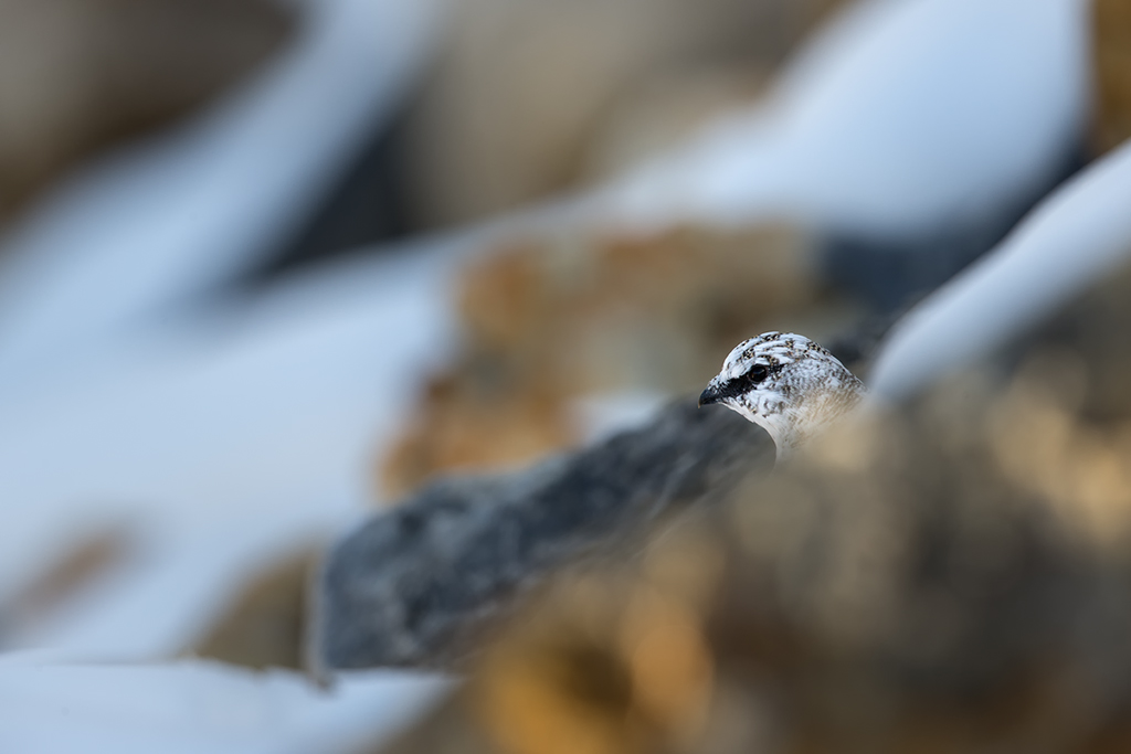 3- Lagopède alpin d'automne